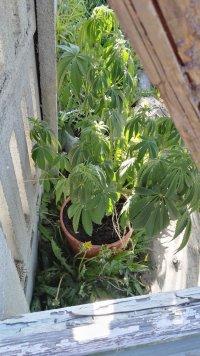 Krzak konopi rosnący w doniczce koloru brązowego znajdujący się przy ścianie budynku